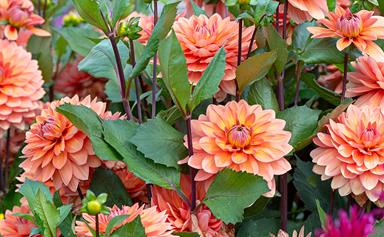 Dahlias: how to grow and care for these elegant flowers