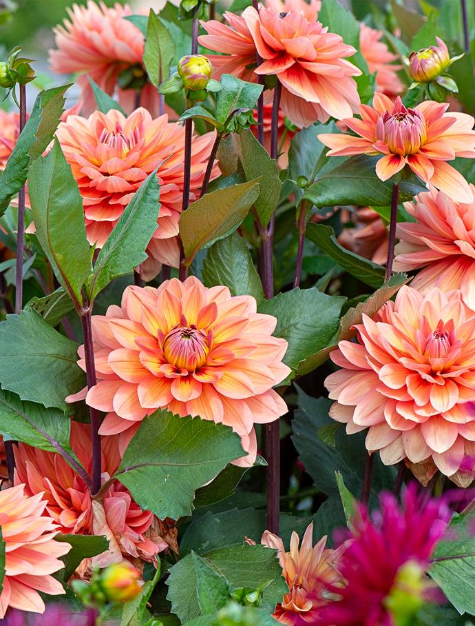 "**Dahlias**<br> [Dahlias](https://www.homestolove.com.au/plant-guide-dahlias-9992|target=""_blank"") add vibrancy to gardens from summer until frosts arrive and are great for picking. Cut stems back hard at the end of autumn. Leave tubers in the ground. They'll regrow in spring which is also the time to plant new tubers. Dahlias flower in a myriad of colours, shapes and sizes from late summer to autumn. They like full sun."