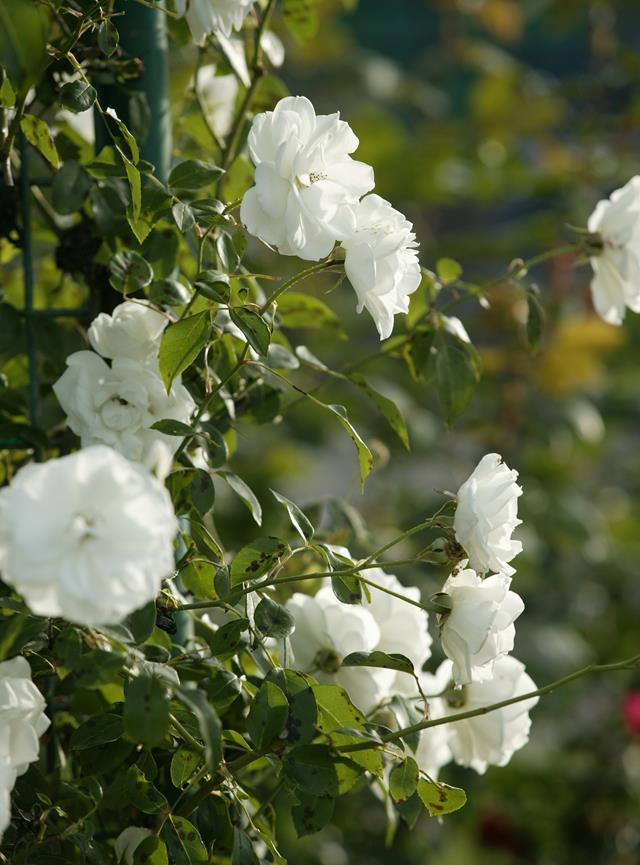 "**Roses**<br> Modern roses ( varieties bred after 1867) produce flushes of flowers from spring to autumn. Stimulate a good [autumn flower](https://www.homestolove.com.au/autumn-flowers-australia-20296|target=""_blank"") show by [pruning roses](https://www.homestolove.com.au/how-to-prune-roses-9492