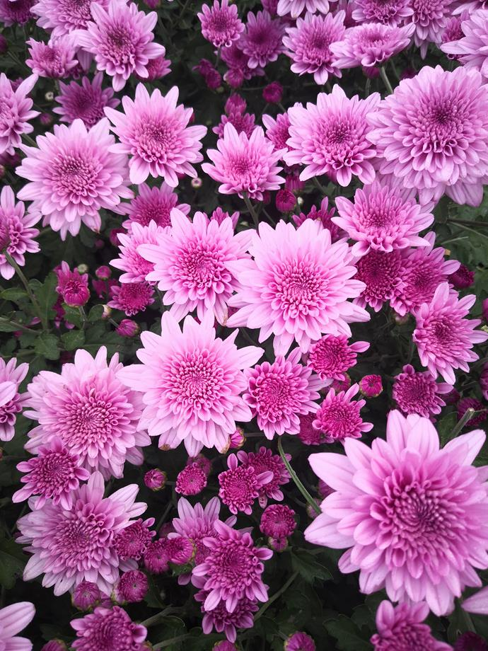 "**Chrysanthemum**<br> [Chrysanthemum](https://www.homestolove.com.au/plant-guide-chrysanthemums-9485|target=""_blank"") is a herbaceous perennial grown for its bold and colourful autumn flowers in purple, pink, yellow, bronze and white. Tall growers may need staking to support the weight of their flowers. Enjoy armfuls in vases right through autumn."
