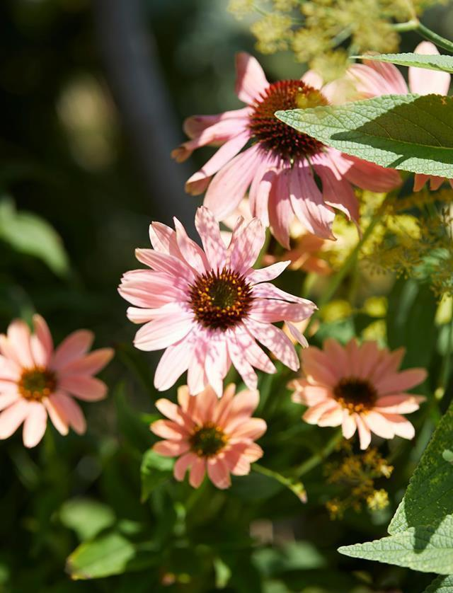 "**Echinacea or coneflower**<br> [Echinacea or coneflower](https://www.homestolove.com.au/plant-guide-echinacea-9831|target=""_blank"") attracts butterflies, bees and other beneficial insects to its flowers. They are also long flowering and good to pick for a vase. Echinacea species are also used in herbal medicines."