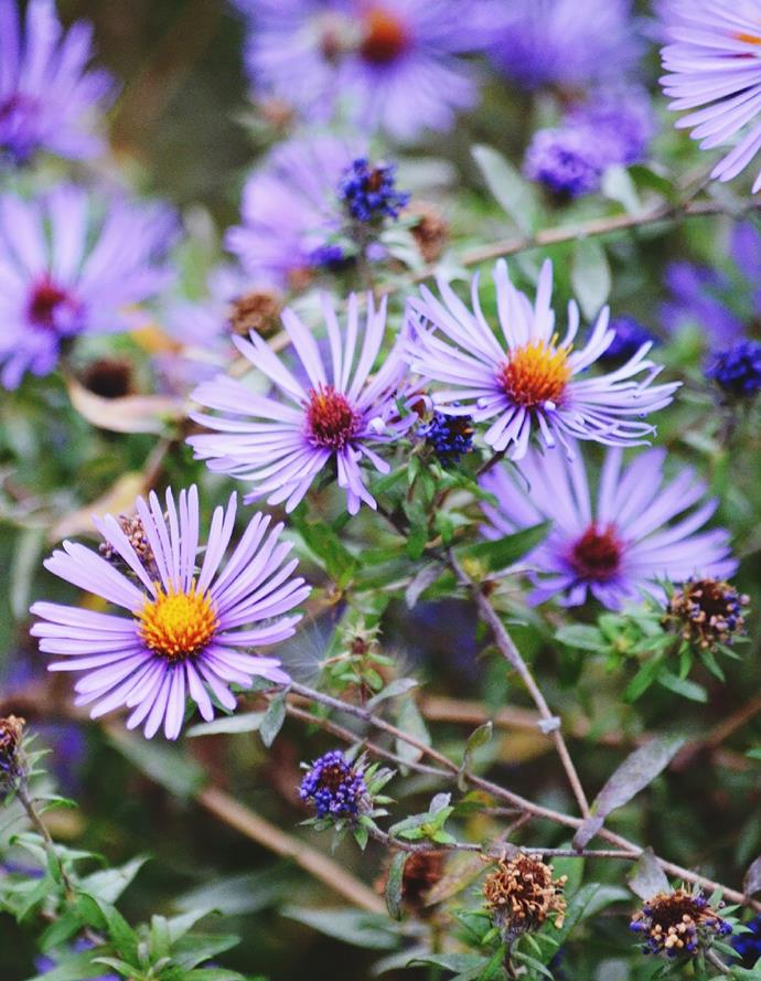 **Asters**<br> Asters such as Aster novi-belgii fill gardens with no-fuss autumn flowers in blue, mauve, pink or white. Varieties grow from 30cm to almost 1m tall. Chop back after flowering. Plants die down in winter but regrow in spring.