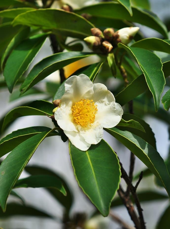 **Gordonia flowers**<br> Gordonia flowers stand out against their dark, evergreen leaves. They give double value as the flowers always fall 'butter' side up in a floral carpet around the tree. This is a lovely evergreen shrub or small tree for a sunny garden.