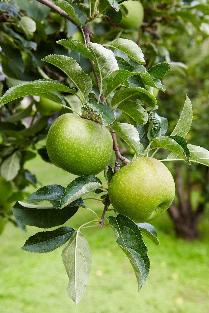 Granny Smith apples are a popular variety to grow at home.