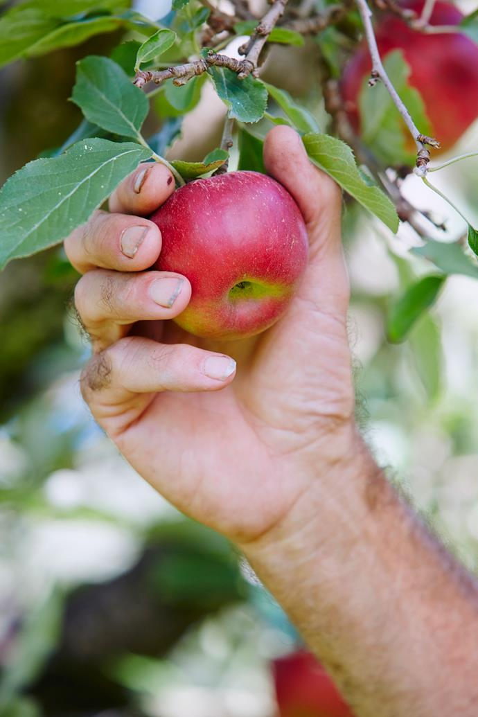A ripe apple will come away from the branch with a gentle tug.