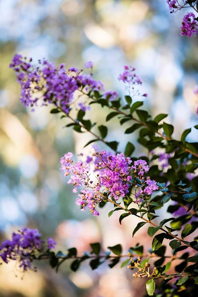Crepe myrtle flowers vary from shades of pink, to red, purple, mauve, lilac and white.