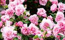 Rose garden design ideas for beginners