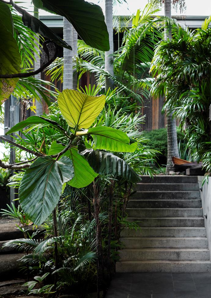 In the rear entry, a dinner plate fig (*Ficus dammaropsis*) makes a bold statement. Rhapis palms (*Rhapis excelsa*) create an under-storey to Bangalow palms (*Archontophoenix cunninghamiana*).