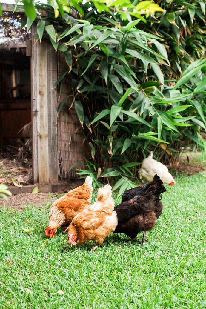 It's important to supervise dogs when chickens are free-ranging in the backyard.