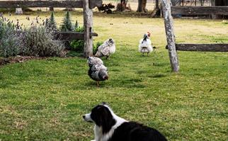 Border Collie dog lying on the grass with chickens in the background
