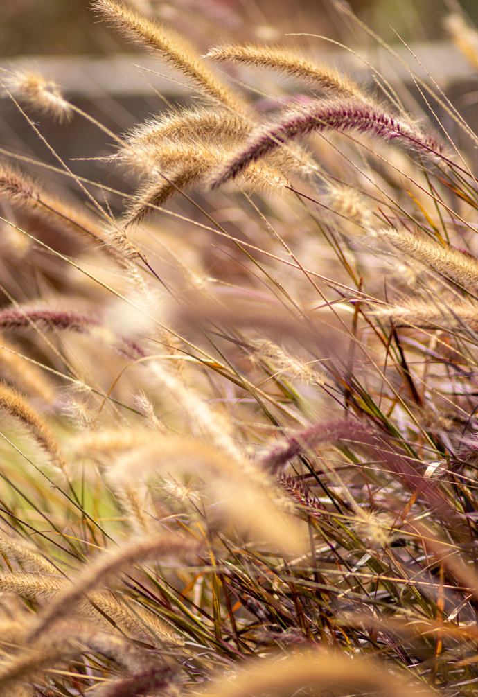 Both short and tall varieties of Foxtail grasses are available.