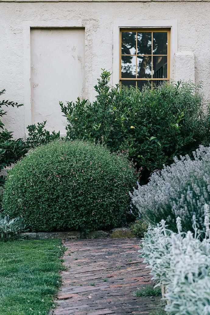 A sheltered corner with a lemon tree against the wall, and a neatly trimmed salvia in front.