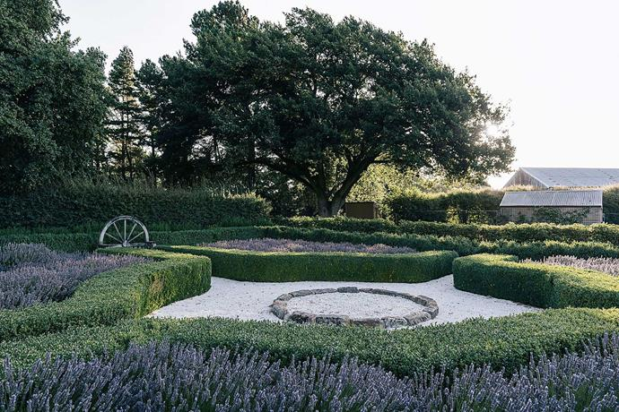 In the lavender garden, the herb's purple blooms contrast beautifully with the clipped box hedges.