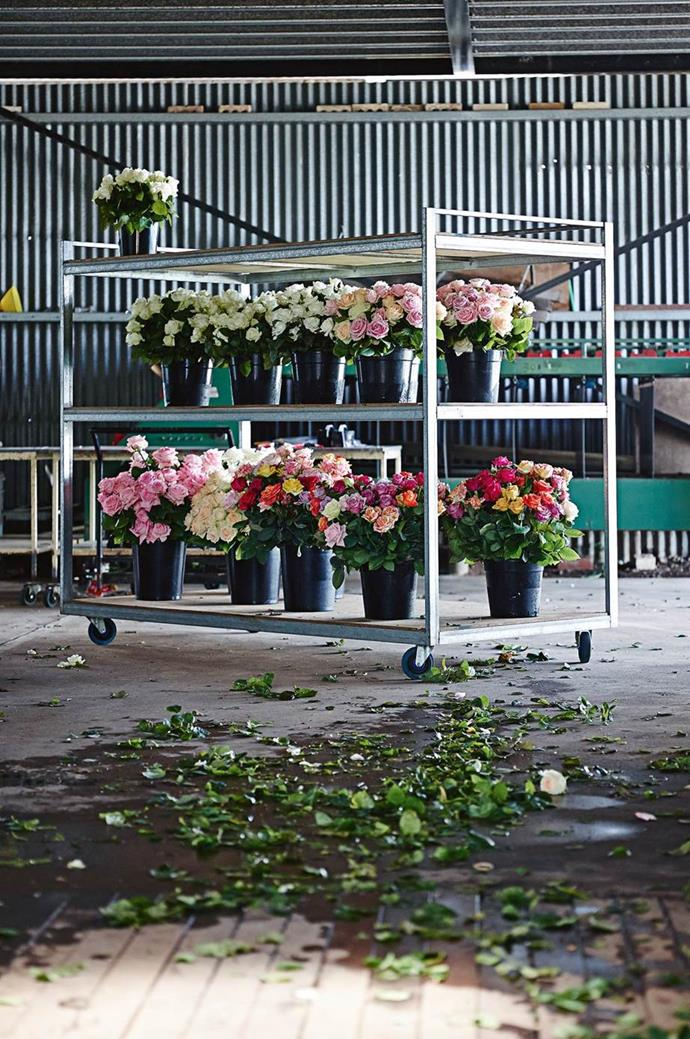 "Buckets of roses sit ready to be trucked to the markets at the [B&B Roses farm](https://www.homestolove.com.au/romantic-rose-gardens-13868|target=""_blank"")."