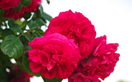 How to plant and care for David Austin roses: a florist's guide