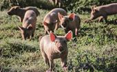 A family raising contented, free-wandering pigs