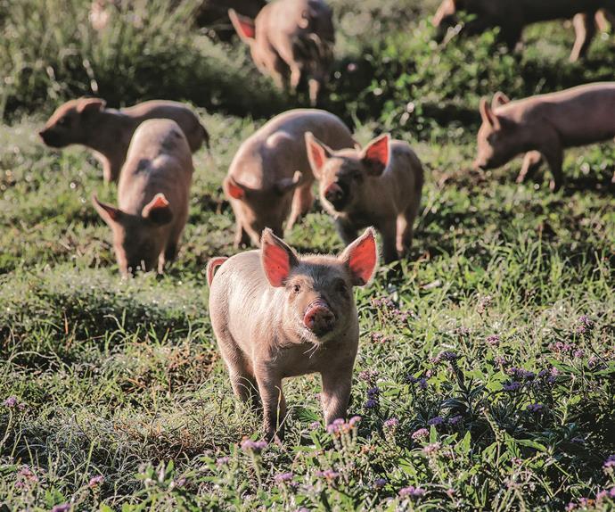 Piglets in a paddock