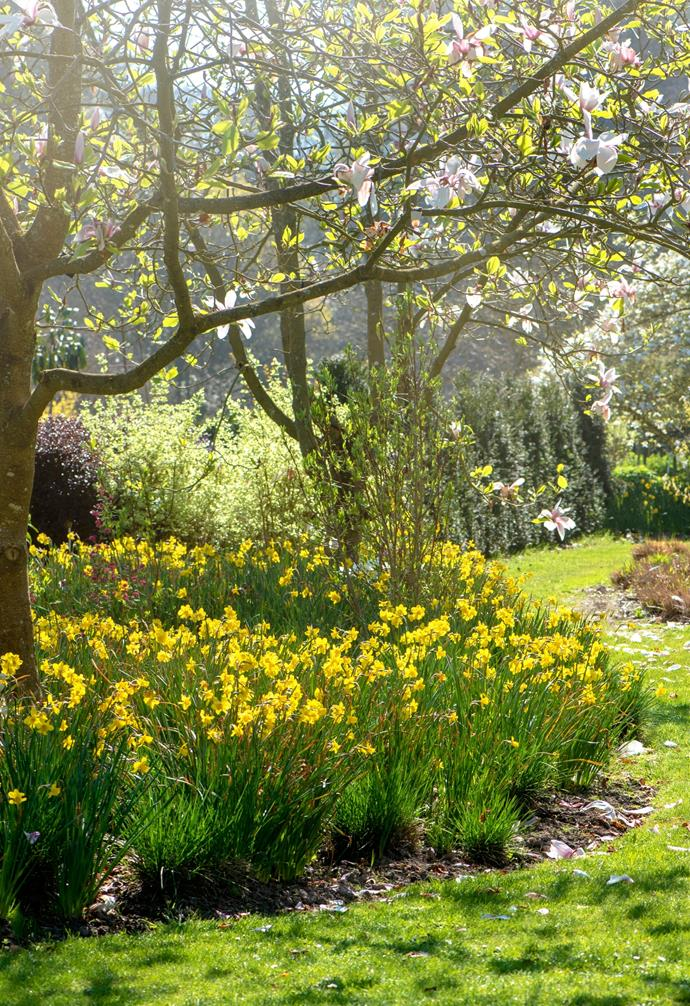 Planting daffodils in groups of the same colour will create a pretty swathe of colour.
