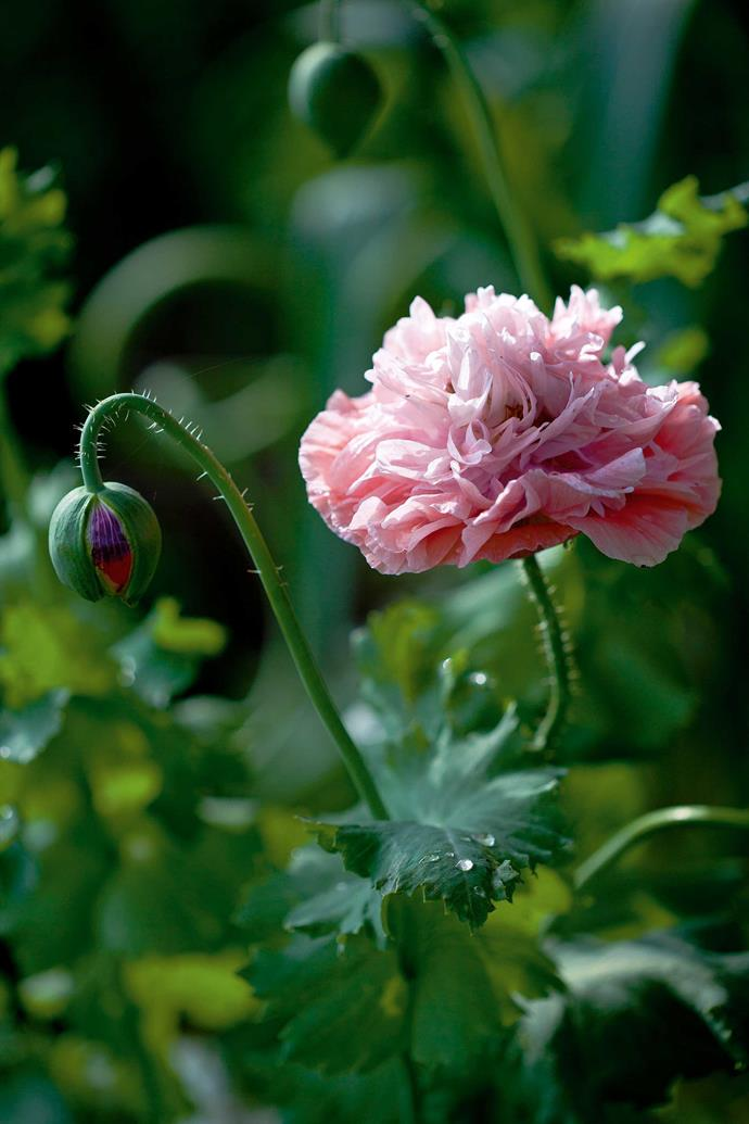 An errant poppy growing in the vegetable garden.