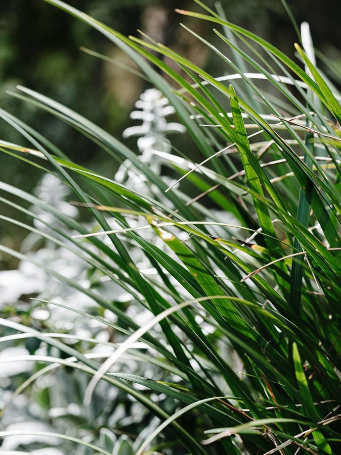 The grass-like tufts of morning iris (*Orthrosanthus multiflorus*).
