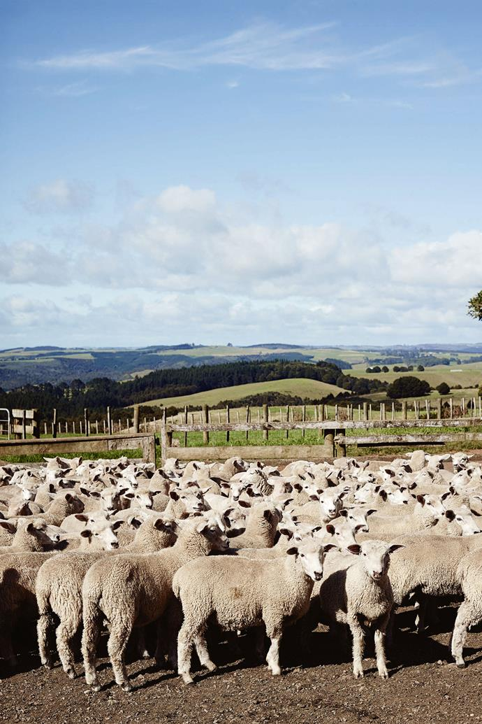 Coopworth sheep just brought into the yards.