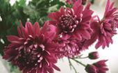 Chrysanthemums: How to grow and care for this autumnal flower