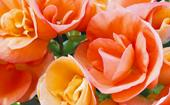 Tuberous begonias: How to grow and care for this perennial flower