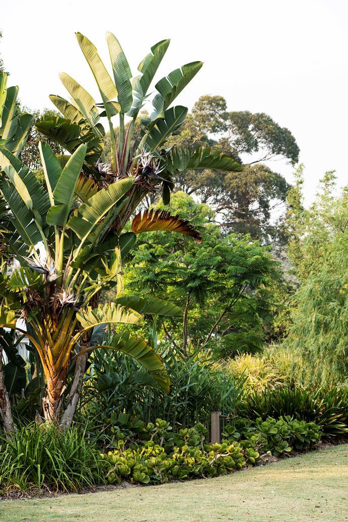 The giant bird of paradise, *Strelitzia nicolai*, towers over the border.