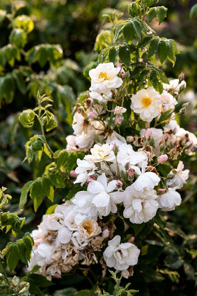A blooming lovely display of Rosa moschata Autumnalis.