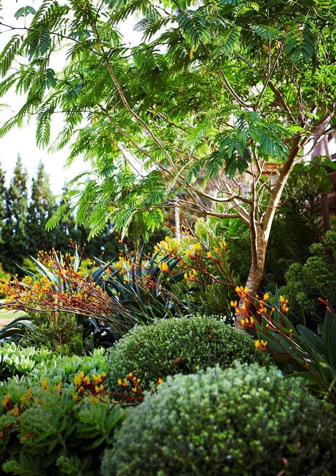 A Persian silk tree (Albizia julibrissin) is underplanted with the luscious, contrasting textures of clipped Westringia fruticosa, Sedum 'Autumn Joy' and smooth agave (Agave desmettiana).