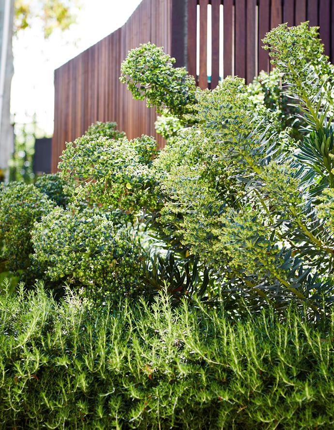 Prostrate rosemary grows in front of a row of Euphorbia wulfenii.