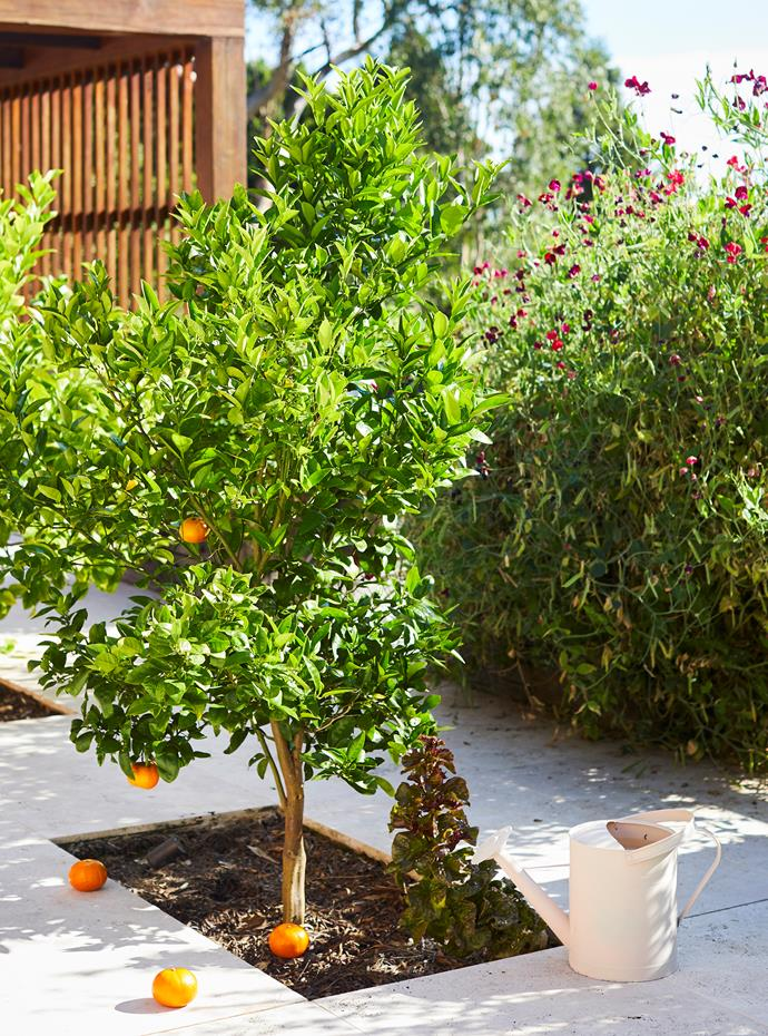A mandarine tree pops out of a cut-out in the paving.