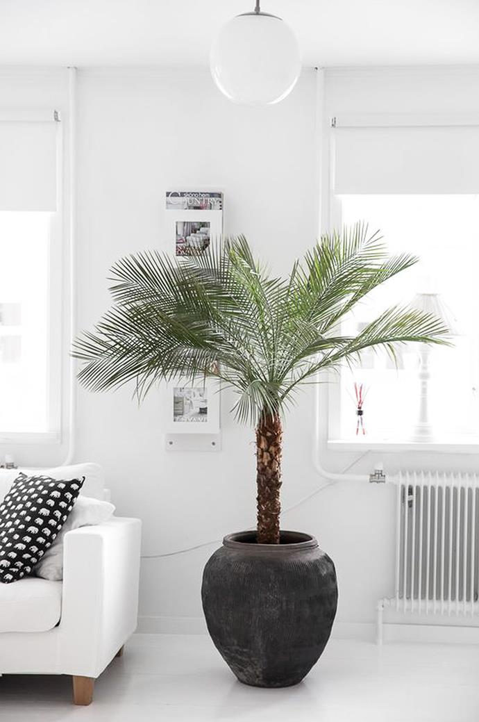 """Palms are just one of the many [indoor-happy plants that will purify the air](https://www.homestolove.com.au/plants-that-purify-the-air-nasa-12389