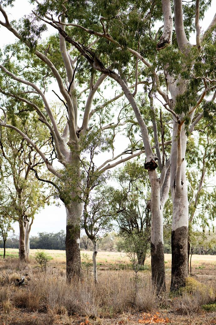 Carbeen trees.