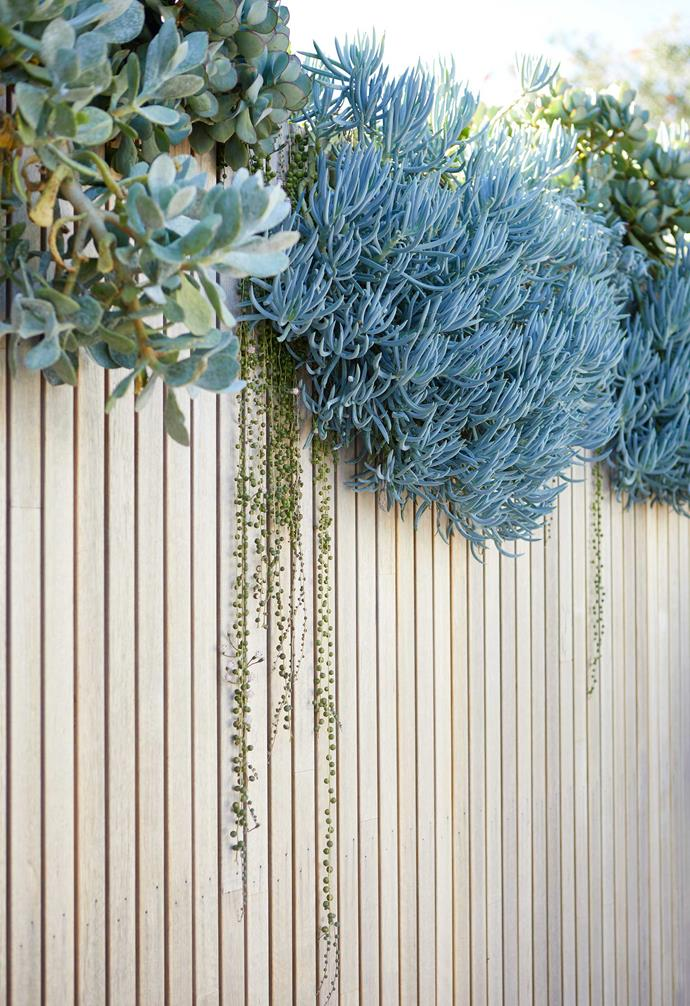 """[Low-maintenance succulents](https://www.homestolove.com.au/succulents-easy-to-grow-14910 target=""""_blank"""") Crassula 'Blue Bird', string of pearls (*Senecio rowleyanus*) and blue chalksticks cascade over a back fence made with weather-resistant IronAsh battens from Ash."""