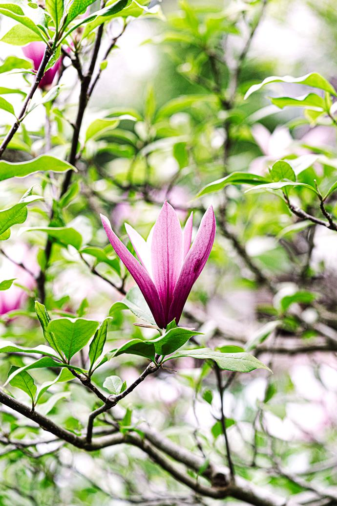 Magnolias in bloom.