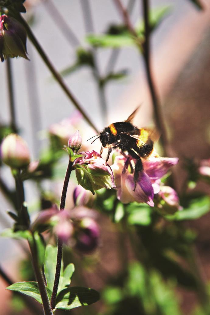 A bumble bee investigates the pink flower of a columbine.