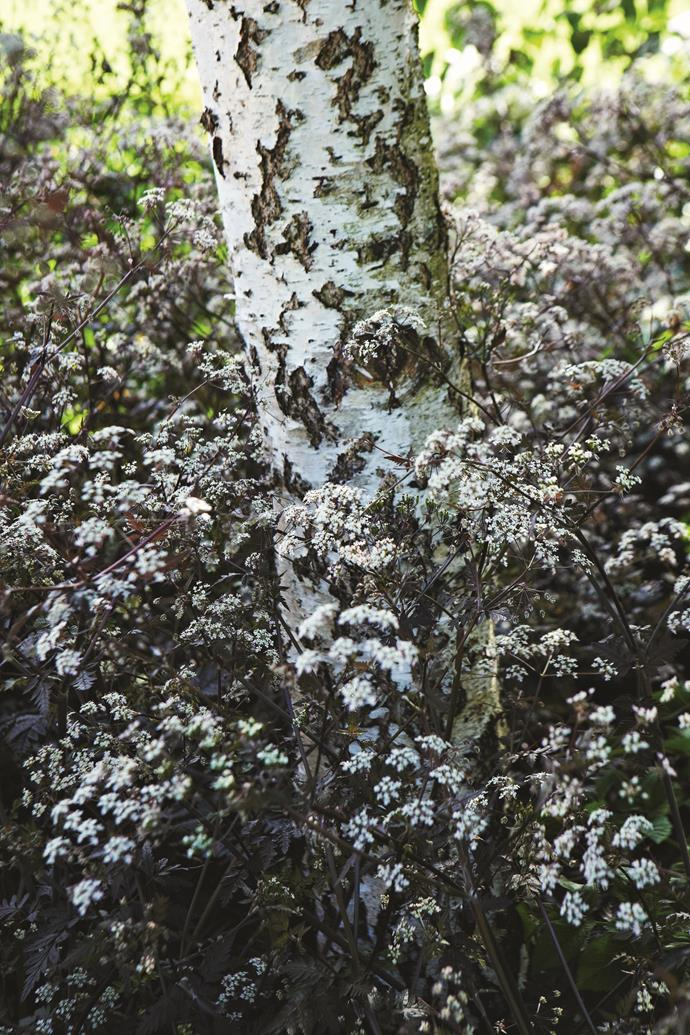 White-flowered *Anthriscus sylvestris* 'Ravenswing' grows at the base of a silver birch.