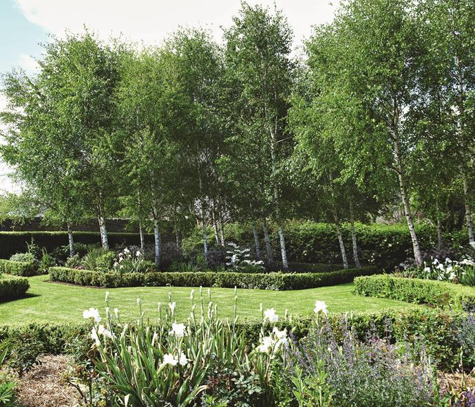 A row of silver birches form the backdrop to 'Wedding Day' iris and 'Walker's Low' catmint in the black and white garden.