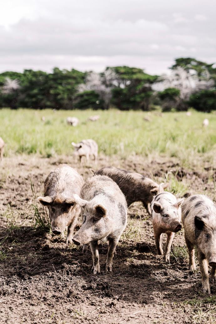 Hollyburton Farm's miniature pigs.