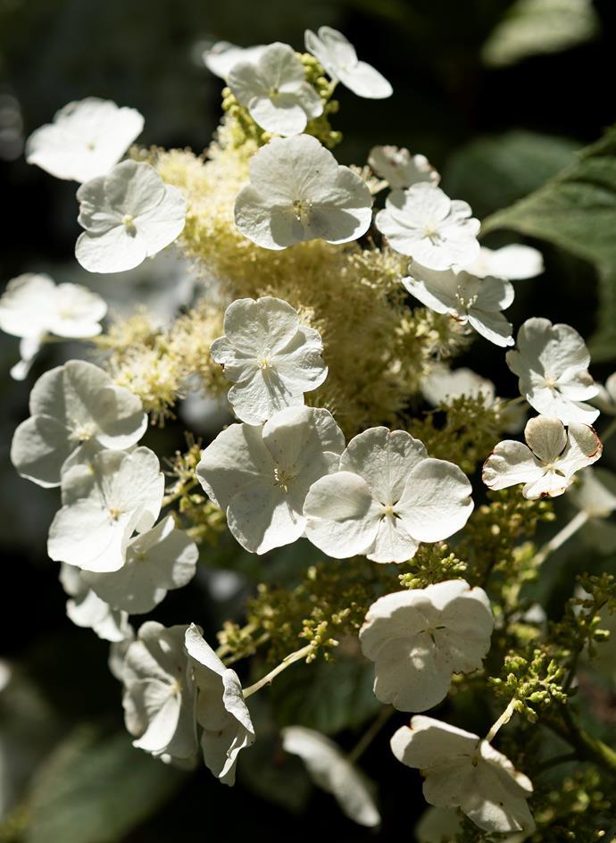 Flowerhead of oakleaf hydrangea (Hydrangea quercifolia).