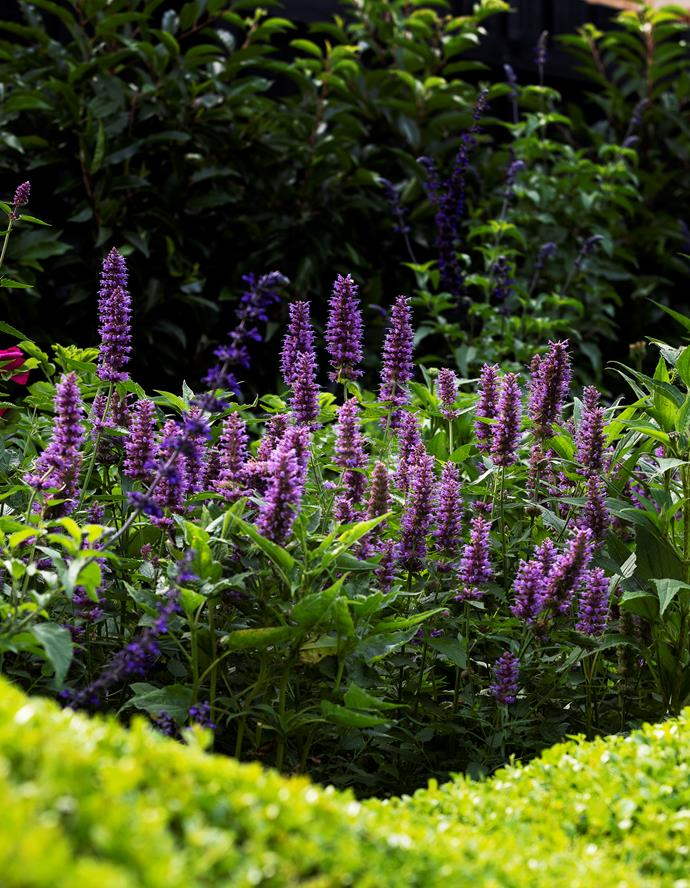 Deep violet flowers of Agastache 'Blue Boa' mingle with blue Salvia 'Mystic Spires'.