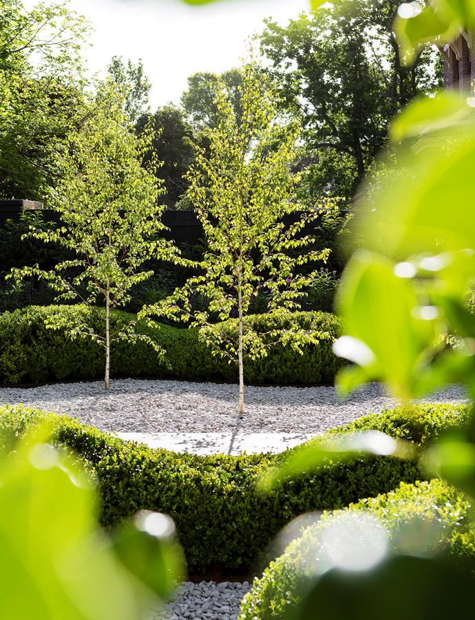 Shimmering silver birch trees add vertical elements. left The jacaranda is encircled by oakleaf hydrangea (Hydrangea quercifolia).