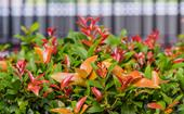 How to grow and care for lilly pilly 'winter lights'