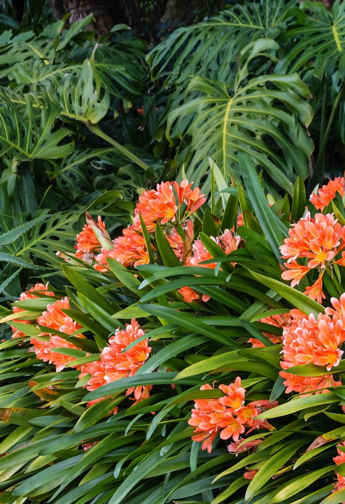 In order to ensure you get beautiful blooms in the desired colour, buy a plant in flower or a named variety.