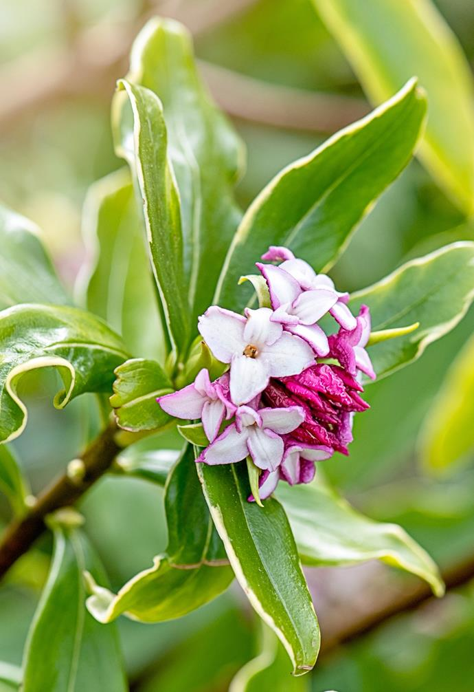 Depending on the species, daphne flower can be white, cream, yellow or pink.