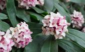 Daphne: How to grow this fragrant winter flower