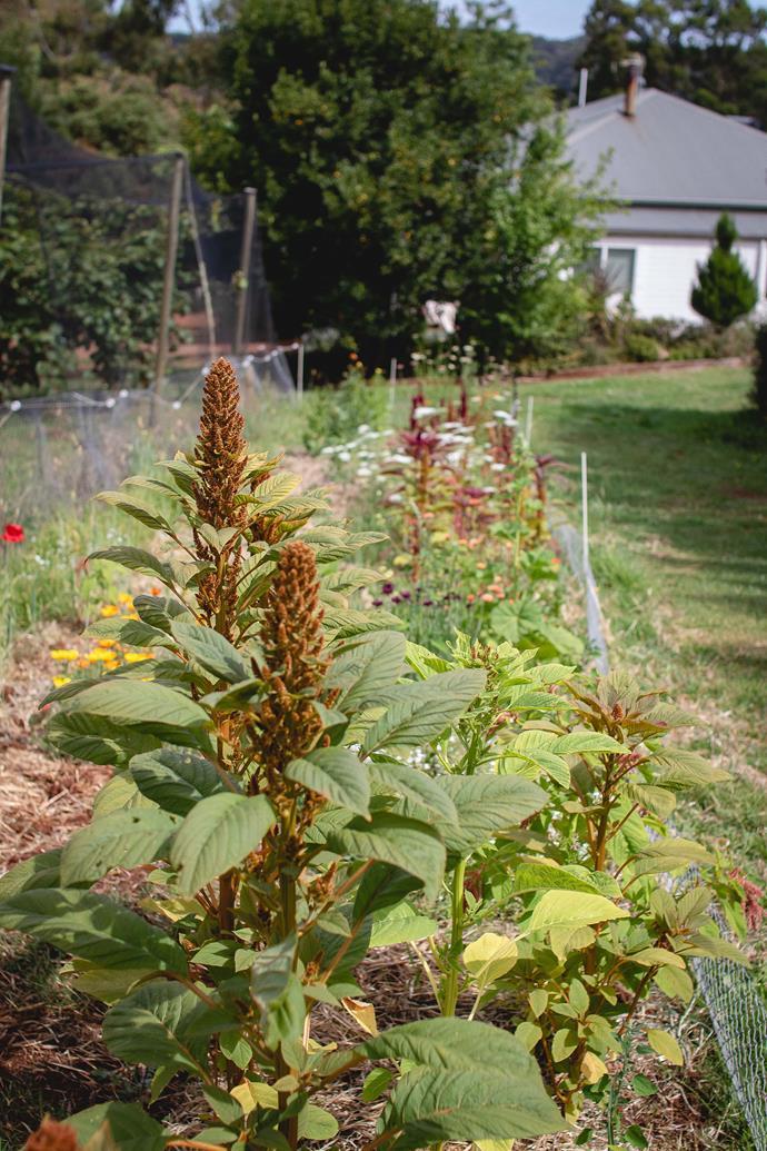 Amaranth 'Hot Biscuits' (*Amaranthus cruentus*).
