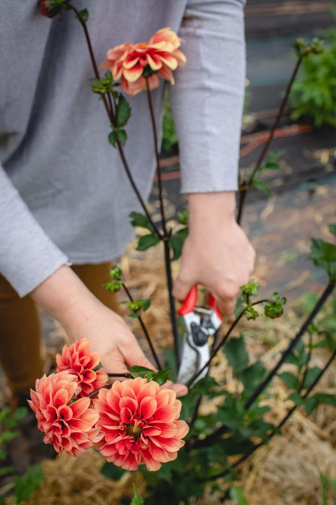 Eliza harvesting dahlias.