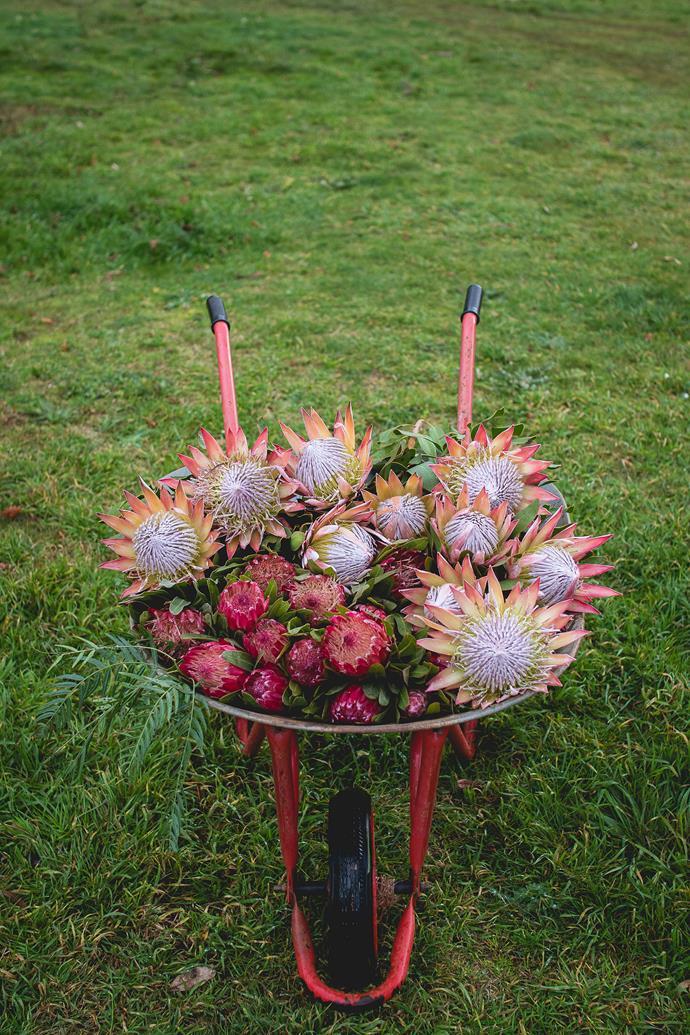 A wheelbarrow full of proteas.